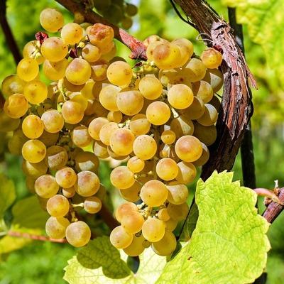 Vins d'Alsace Jean Dietrich - Kaysersberg vignoble -  Un peu d'histoire
